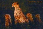 Большие кошки - фото леопарды