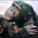 Мартышки и шимпанзе