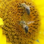 Уход и благоприятное разведение пчел