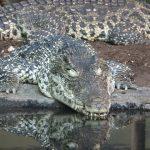 Нильский крокодил: интересные факты и информация
