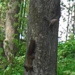 Белки играют в прятки на дереве (видео)