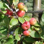 Правильный уход за яблонями