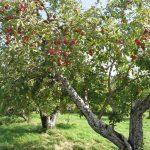 Профилактика и лечение плодовых деревьев
