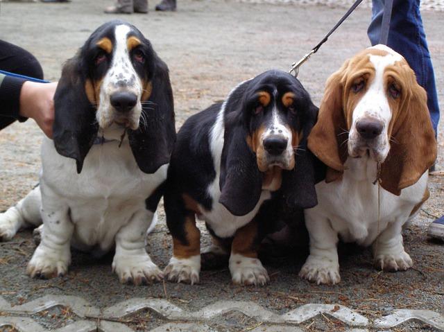 Бассет: собака для охоты и дома