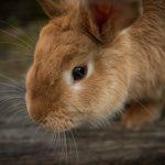 Кролики: история происхождения и особенности пушистых зверьков