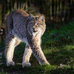 Рысь: большая кошка с отличным слухом