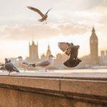 Как почтовые голуби находят дорогу домой?