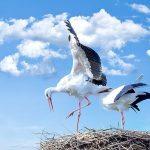 Аист: птица о которой многие слышали, но немногие знают