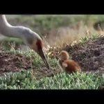 Птицы - странствующий народ: документальный фильм о путешествиях перелётных птиц