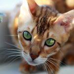 Породы кошек, которые очень похожи на собак