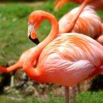 Фламинго: интересные факты об необыкновенной завораживающий птице