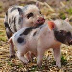 5 интересных и неожиданных фактов о свиньях